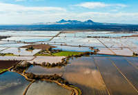 Rice fields/Sutter Buttes